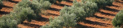 Fin de la récolte des olives !!
