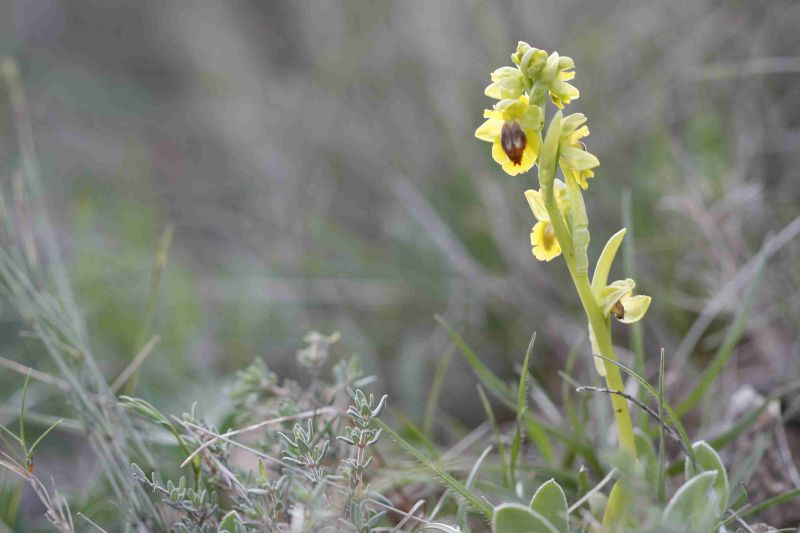 ophrysjaunesceadarquesavril2009blouboutin.jpg