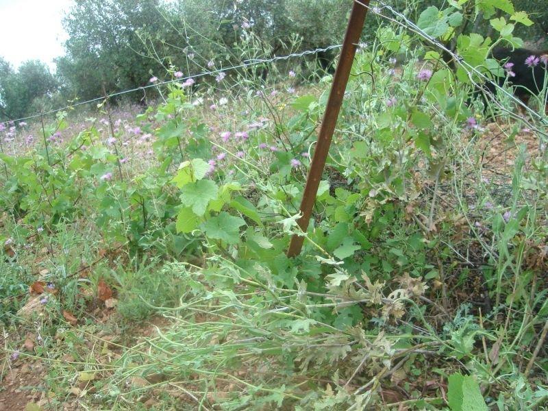 Travaux de printemps la vigne suite le blog du clos romain - Arrache mauvaise herbe ...