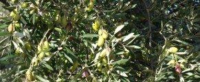 Un après midi dans l'oliveraie
