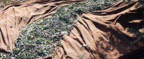 Des nouvelles de la récolte des olives