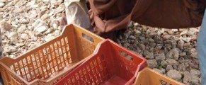 Récolte des olives illustrée