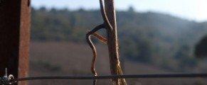 Quelques images de la taille de la vigne …