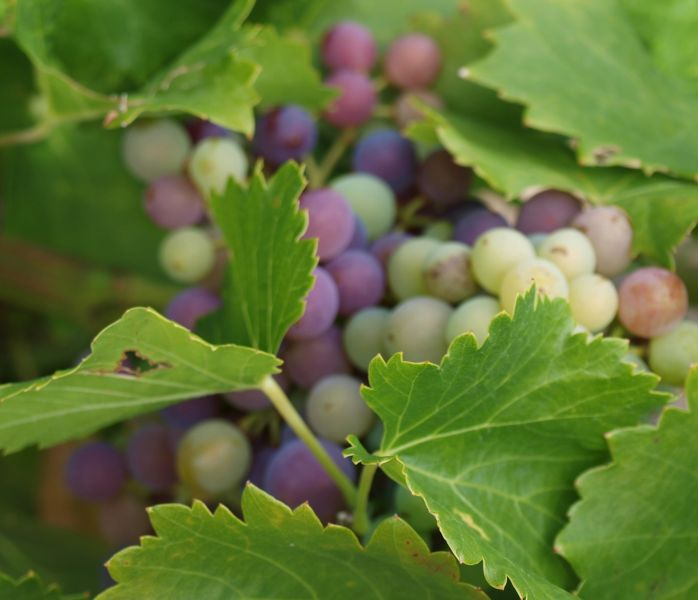 grapes changing color at veraison