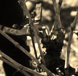 allolo-300x292 dans Le travail de la vigne