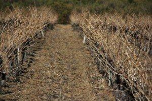 asarmns-300x200 dans photos de vignes