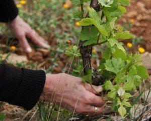 Un travail de printemps : attacher et ébourgeonner les plantiers !  dans La vie au Clos Romain 529097_396426057044345_100000308616854_1251242_1774404454_n-300x241