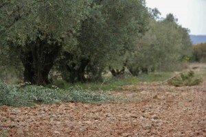 Taille des oliviers ! dans A propos de notre oliveraie 577603_395005567186394_100000308616854_1247448_1251224895_n-300x200
