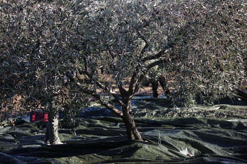 Entraide et solidarité  dans A propos de notre oliveraie a-2-800x533