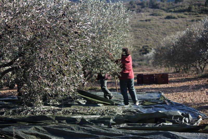 a-800x533-2-800x533 dans La fabrication de l'huile d'olive