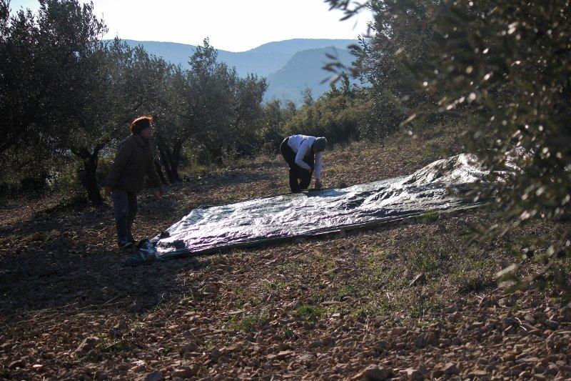 aan-800x533 Entraide dans Comment recolte t-on les olives