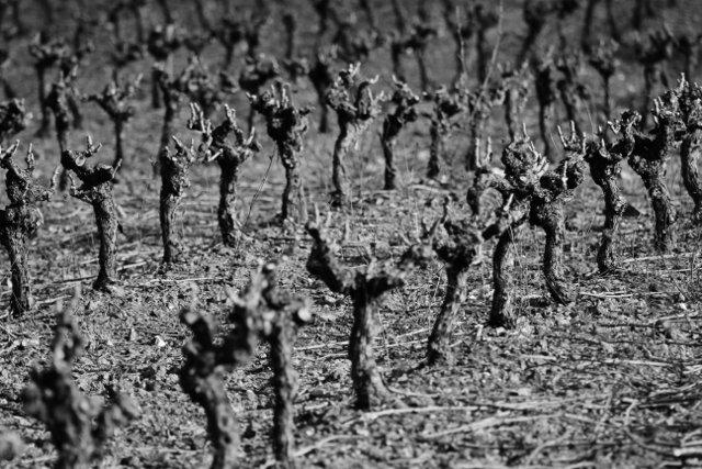 Taille de la vigne - En noir et blanc  dans Cabrières en Languedoc a-640x427