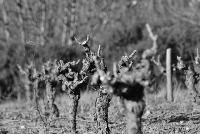 aaaegh-640x427 dans Les travaux de la vigne