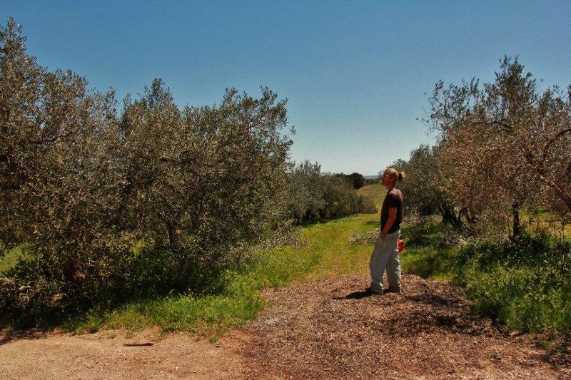 a2-800x533 Notre oliveraie dans Nos méthodes culturales
