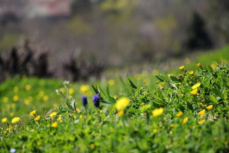 Quelques instants de printemps, à la vigne ou ailleurs  dans Images du domaine aa-800x5331