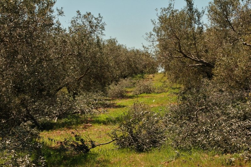 aa-800x5332 Huile d'olive dans Images du domaine