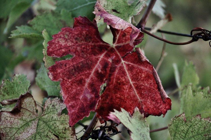 img_8193-800x533 Tourisme dans Photos de vignes